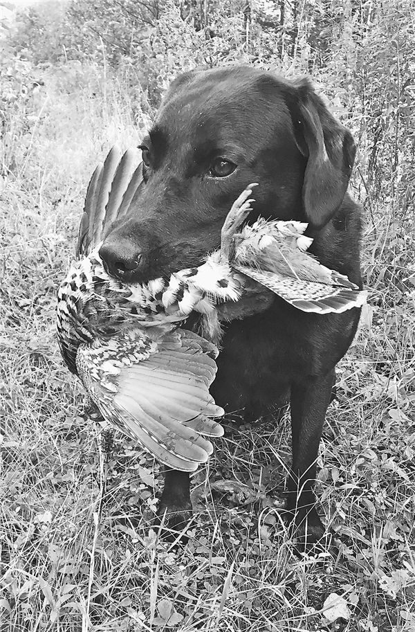Gracie poses with an opening day bird that was winged and would have escaped any hunter who didn't have a good retriever.  —Photo By The Author