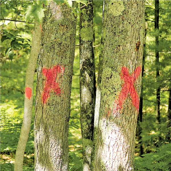 In addition to many towering pines, many deciduous trees are also marked for cutting along Van Bussum Road.