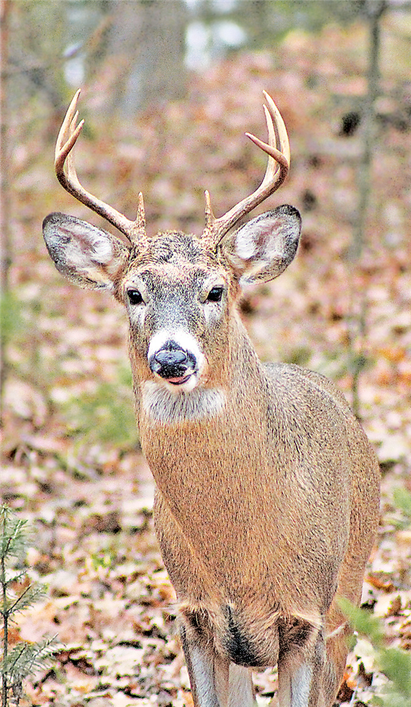 Gun deer hunters hope to see a buck opening day.